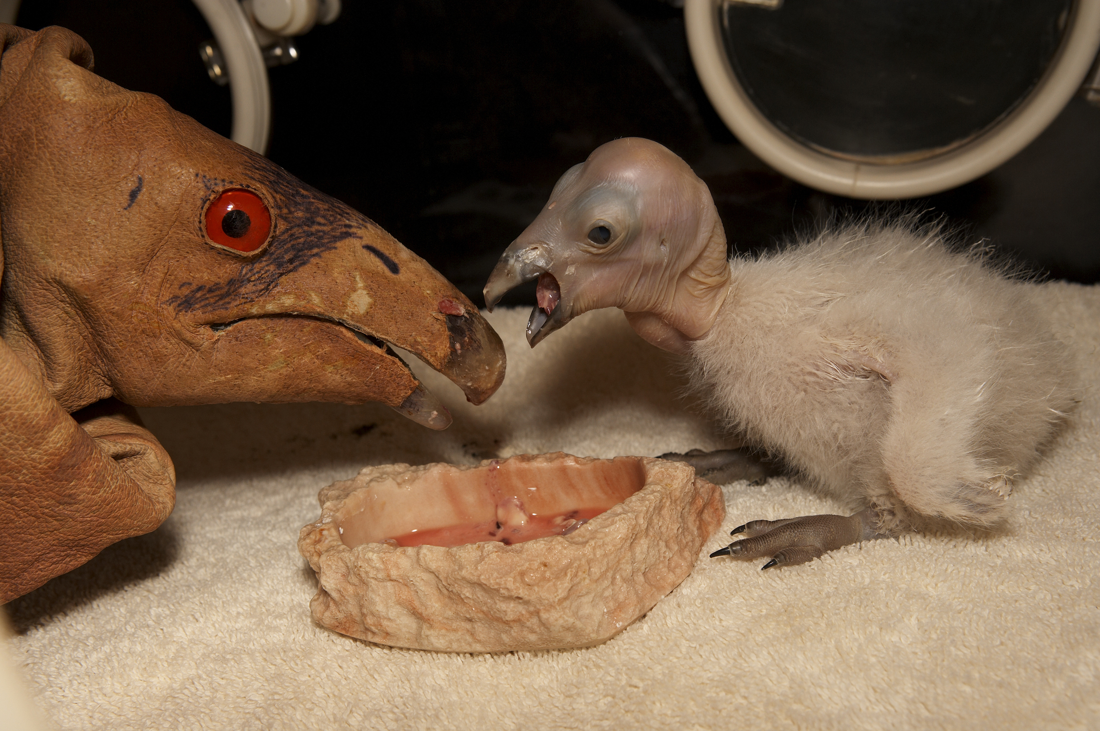 California Condor - Endangered Animals, Class of 2022
